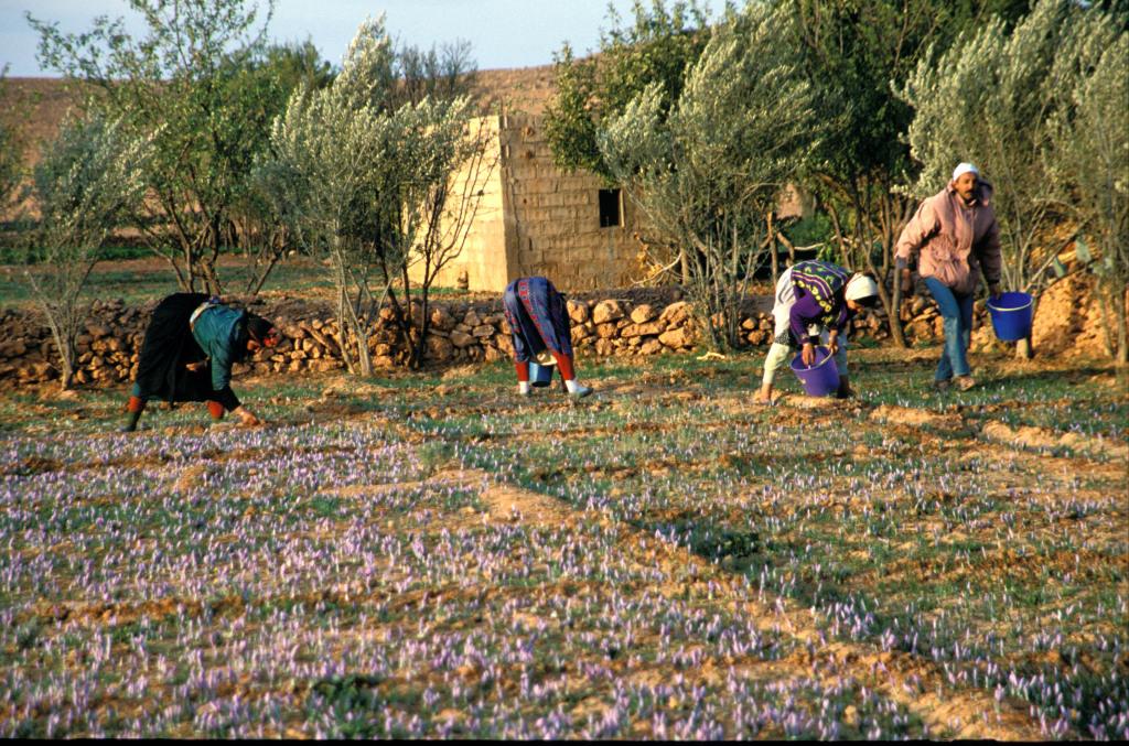 0107_campo-di-zafferano-in-fioritura